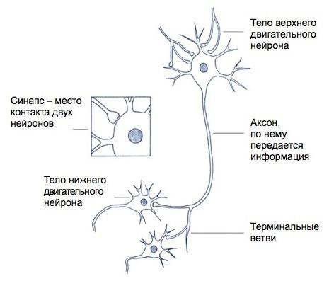 Тест по теме головной и спинной мозг биолгоия 8 класс