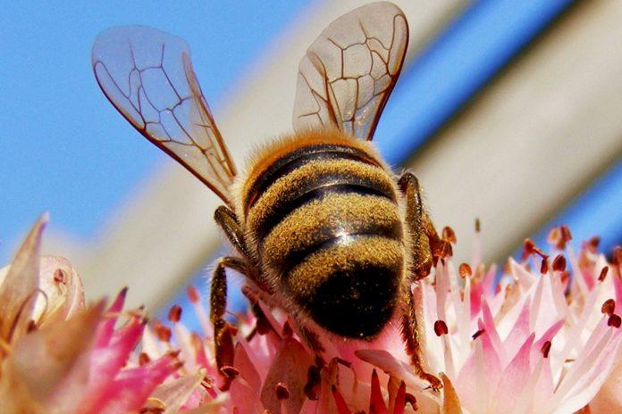 Foto-als-info-alsuntangled-Bee-venom